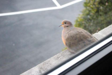 A mourning dove keeps a keen eye out while proctoring the Steinhauser parking lot!